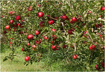 apple-orchard1